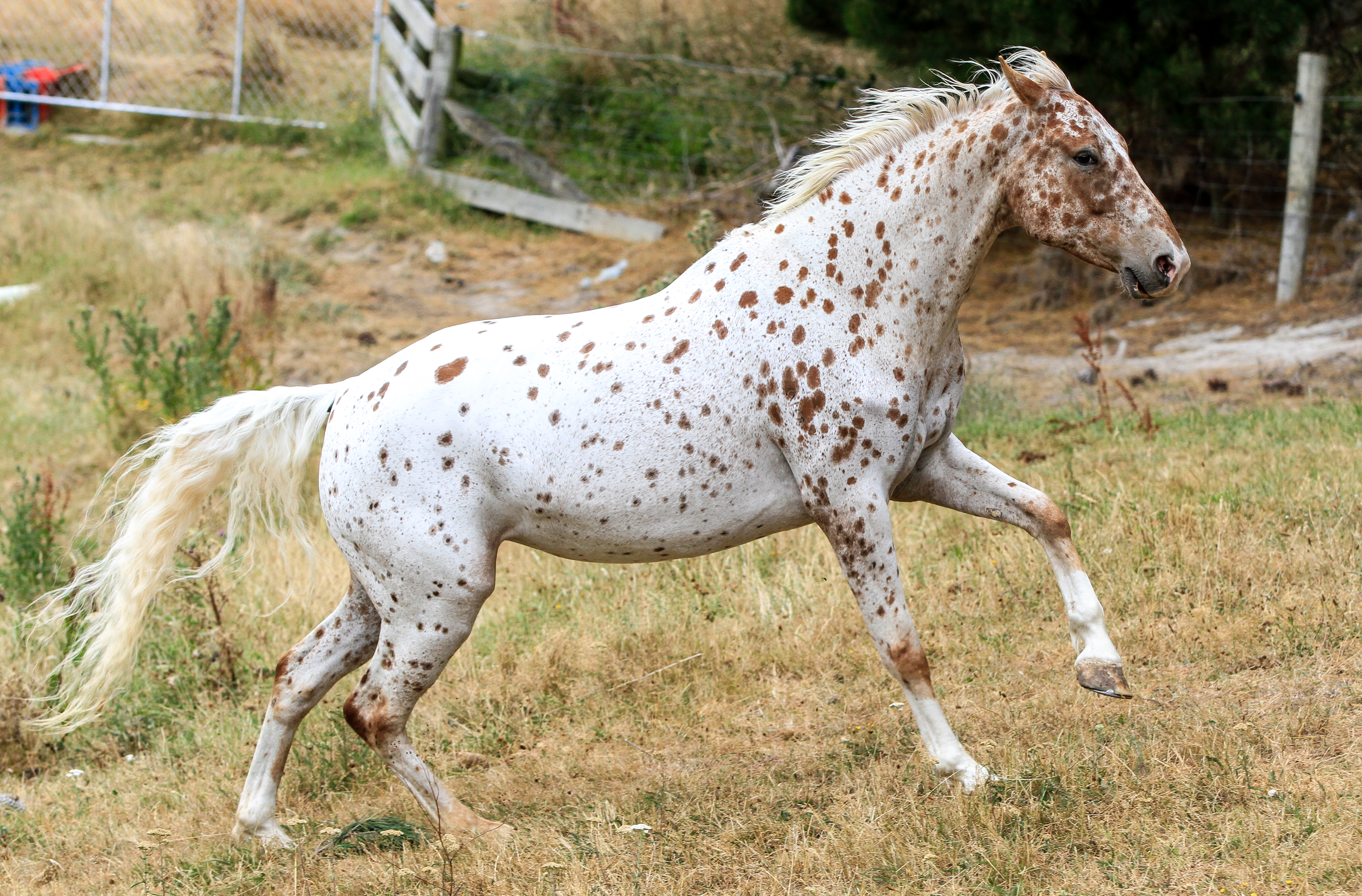 Black and White Near Leopard Appaloosa - Stock by ahsaleh on ...