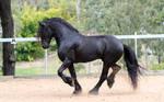 Friesian Stallion stock