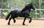 Friesian Stallion stock 1