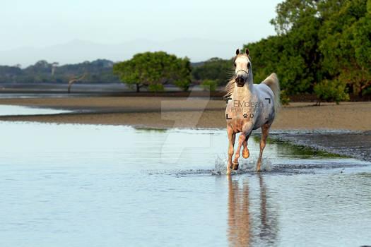 Arabian Stallion on the beach