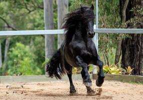 Friesian Stallion stock 15 by xxMysteryStockxx