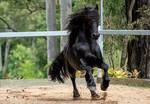 Friesian Stallion stock 15