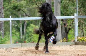 Friesian Stallion stock 14