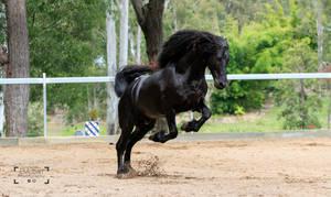 Friesian Stallion stock 11 by xxMysteryStockxx