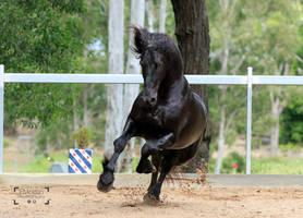 Friesian Stallion stock 13 by xxMysteryStockxx
