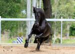 Friesian Stallion stock 13