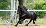 Friesian Stallion stock 12