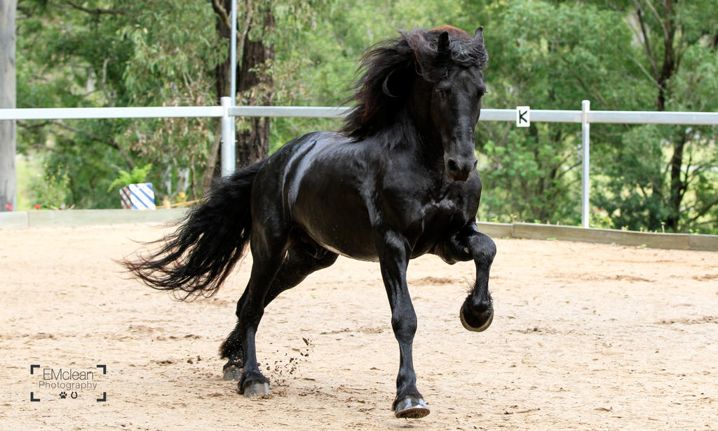 Friesian Stallion stock 10 by xxMysteryStockxx