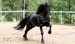 Friesian Stallion stock 10