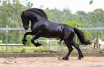 Friesian Stallion stock 8