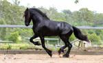 Friesian Stallion stock 6