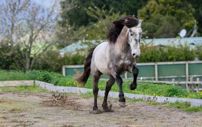 Andalusian Stallion Stock by xxMysteryStockxx