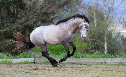Andalusian Stallion Stock 2 by xxMysteryStockxx