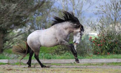 Andalusian Stallion Stock 1 by xxMysteryStockxx