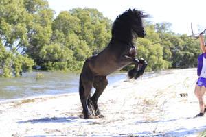 Freisian Stallion rear stock by xxMysteryStockxx