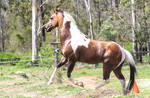 Paint stallion stock by xxMysteryStockxx
