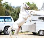 White appaloosa rear stock 1 by xxMysteryStockxx