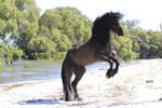 Freisian Stallion rear stock  2