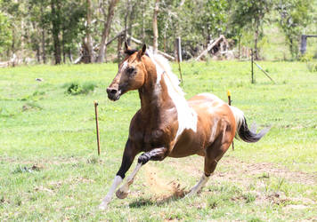 Paint stallion stock 2 by xxMysteryStockxx