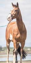 Paint Horse on Beach