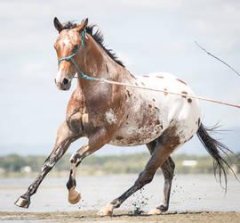 Appaloosa Horse On beach