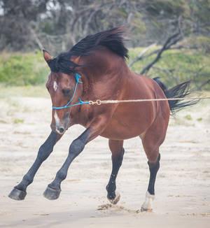 Leaping Dark Bay horse