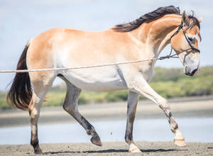 Bucksin/pangere coat Horse