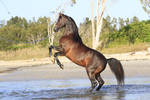 Arabian Horse rearing on beach