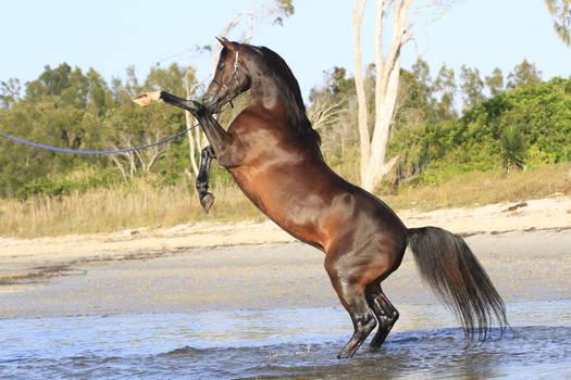 Arabian rearing stock photo 1