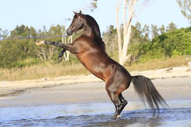 Arabian rearing stock photo 2