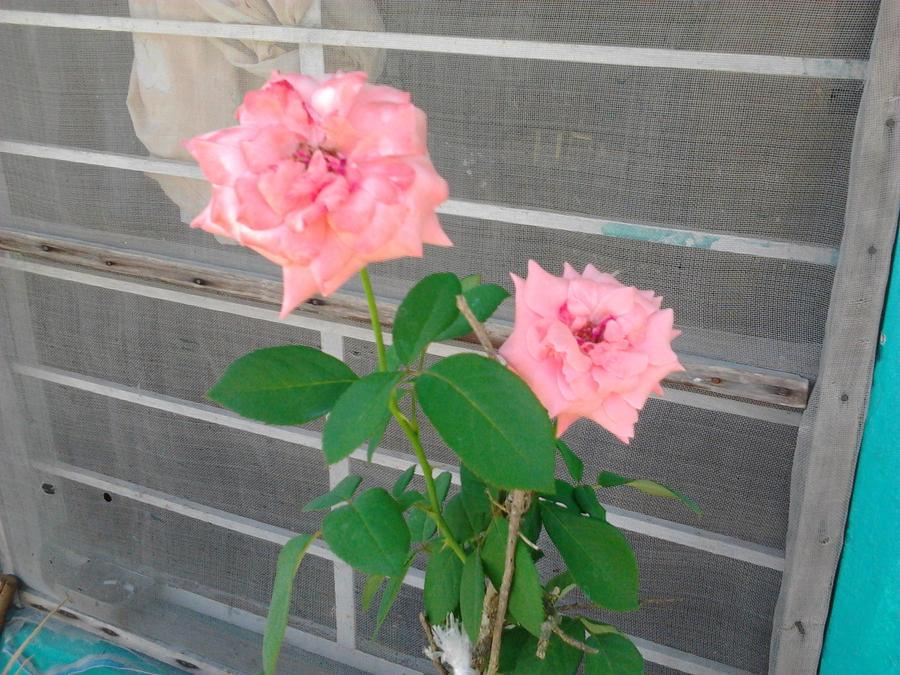 Rosa de color  Rosa by LunaNegra1949