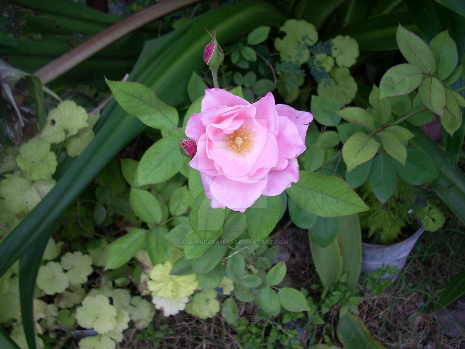 Flor Rosa by LunaNegra1949
