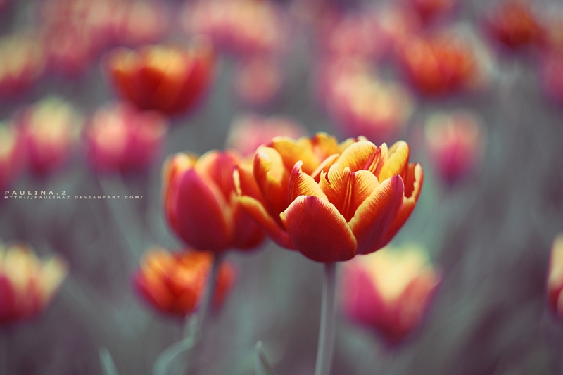 fiery tulips by Paulinaz