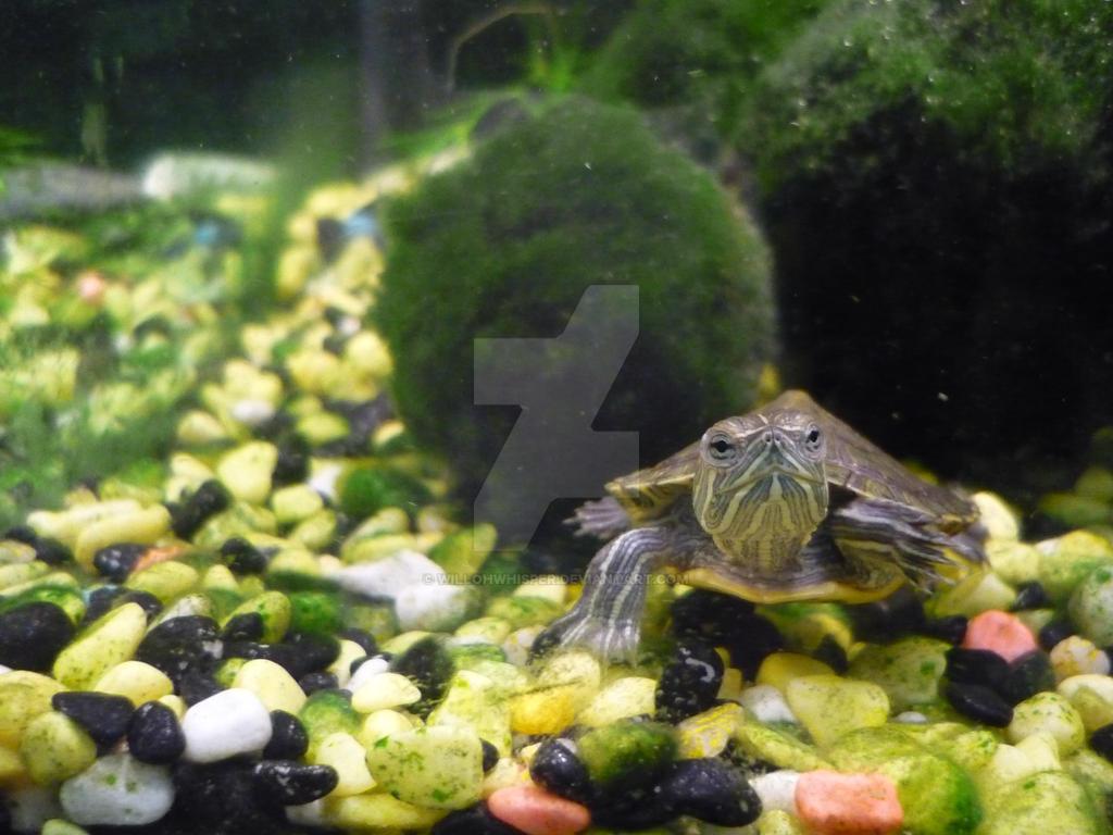 Quebec pet store turtle by willohwhisper