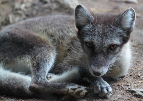 Cuddly Arctic Fox