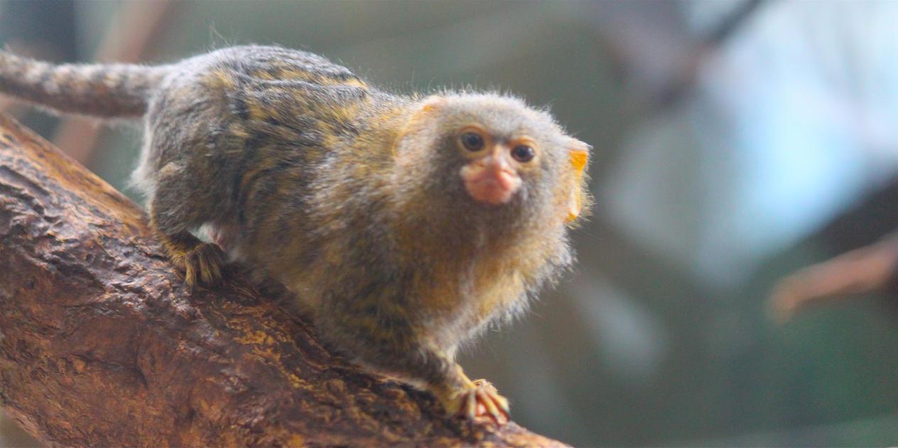 Pygmy-tallgirlsex exploited pic