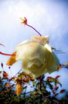 Rose by Missorys