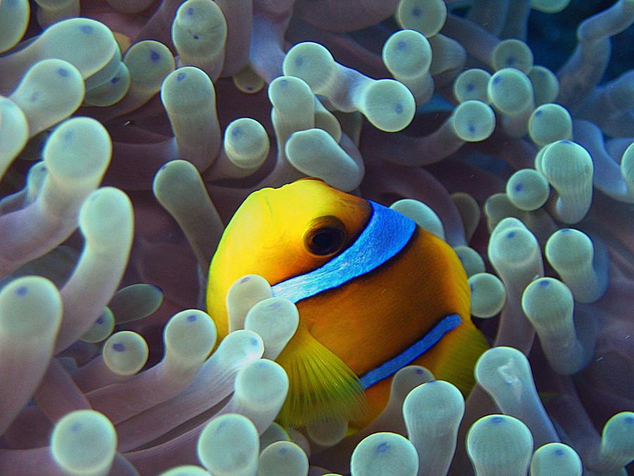 Cache-cache dans son anemone by scubapic