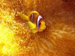 Gold clown fish