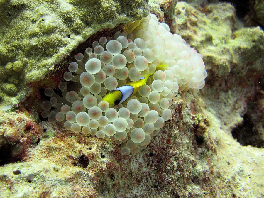 Clown et l'anemone a grosses tetines by scubapic