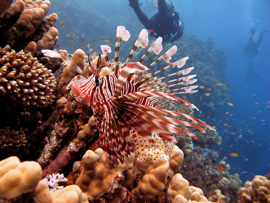 Lion fish by scubapic