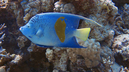 Geograph angelfish by scubapic