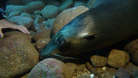 The sweet eyes of the wild sea lion by scubapic