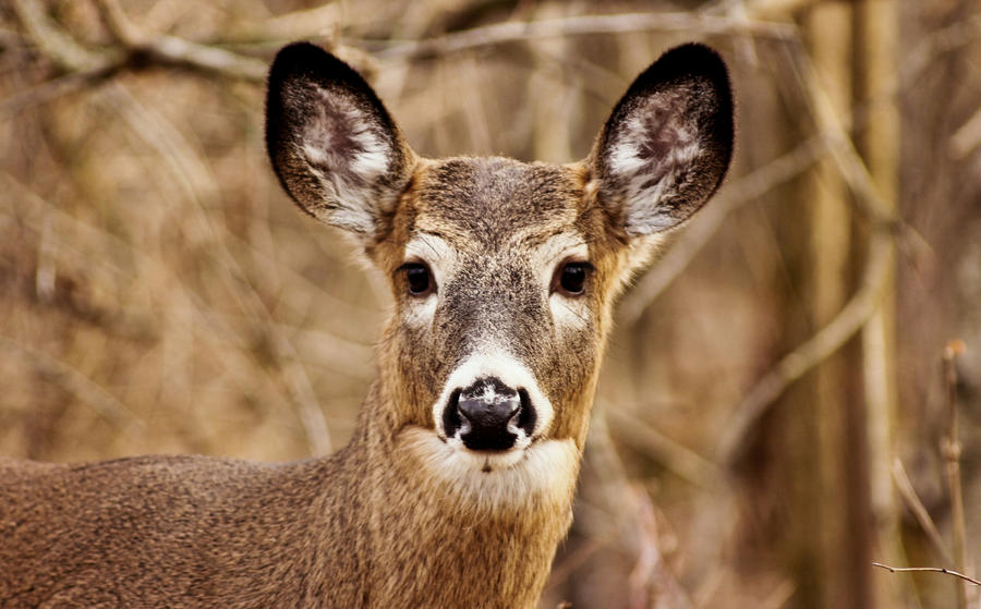 White-tailed deer staring at my camera by RinFlorin