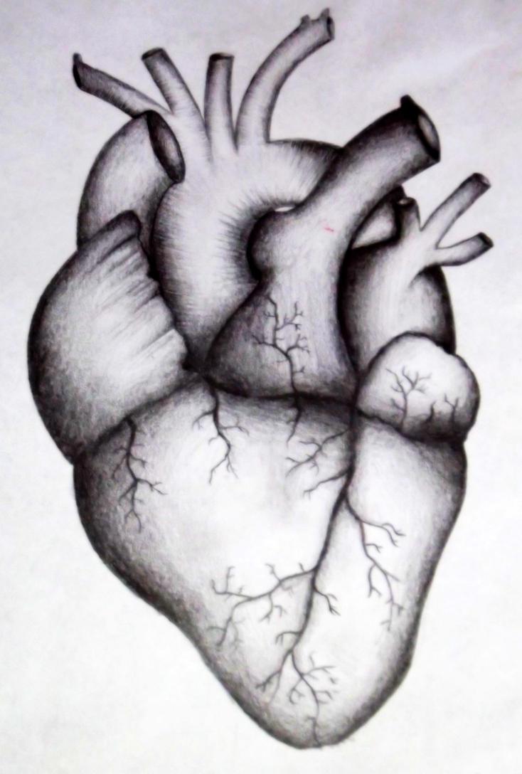 human heart by kortney16 on deviantart, Muscles