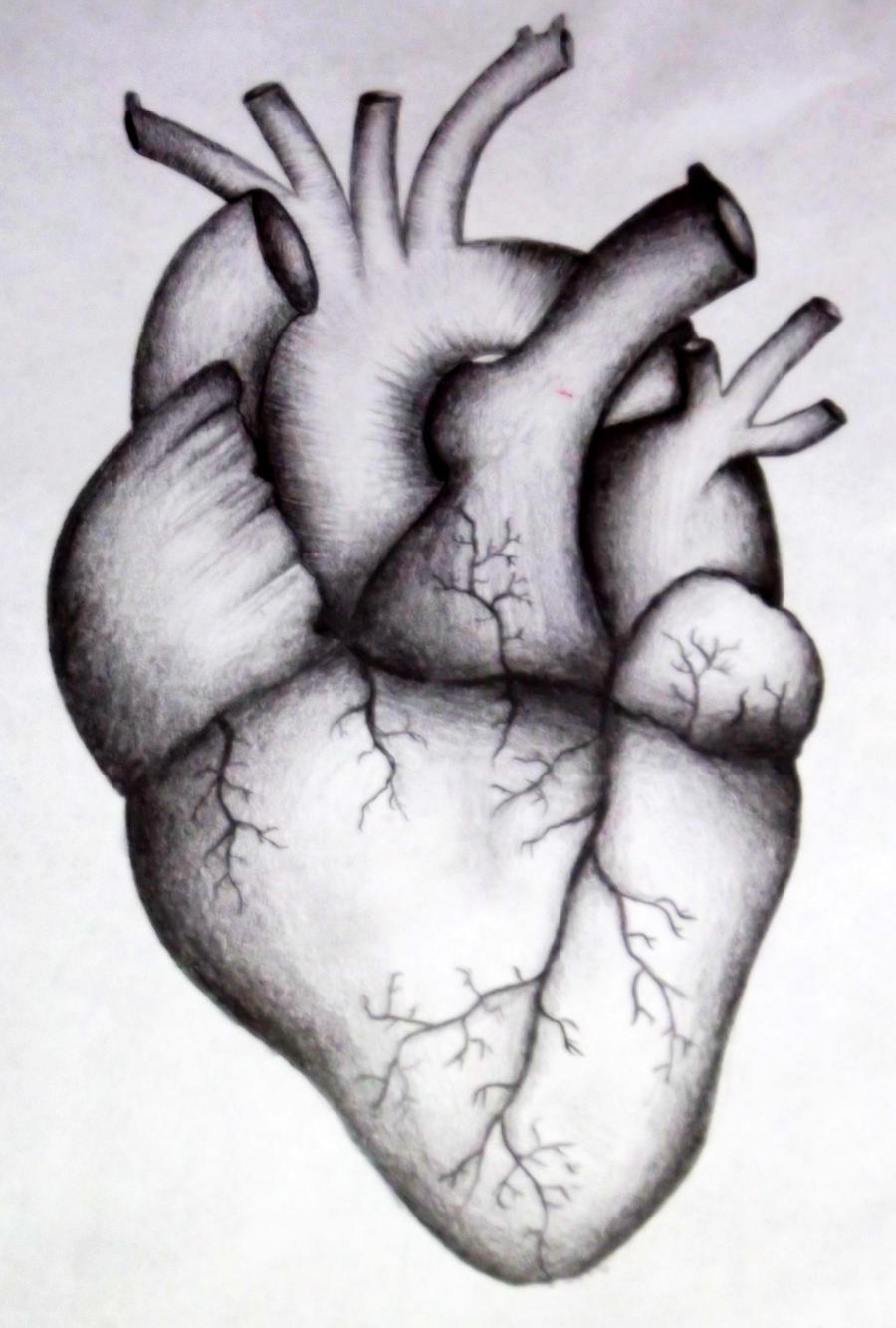 real human heart drawing, Muscles