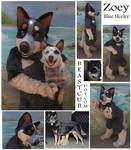 Zoey - Australian Cattle Dog