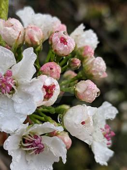 Pink Spring Bloom- 3