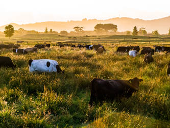 Cows in Sunset by hesitation