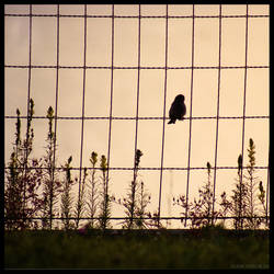 Bird on the Wire by hesitation